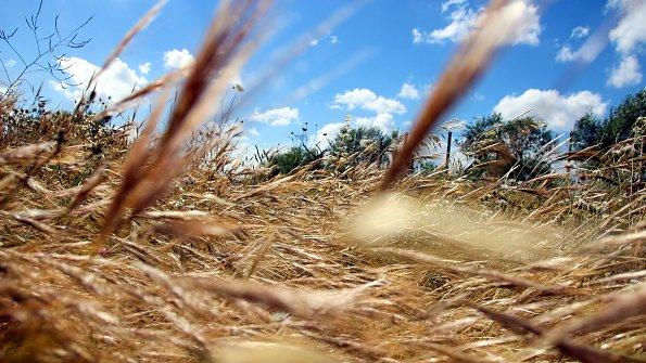 Getreide Mediterrane