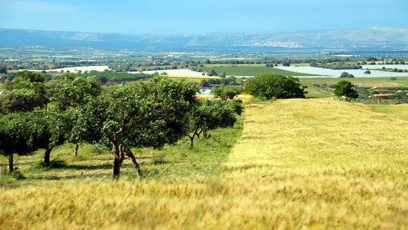 Weide Olivenbaeume
