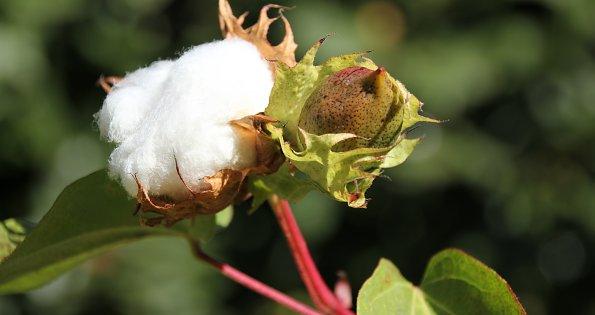 Baumwollbluete
