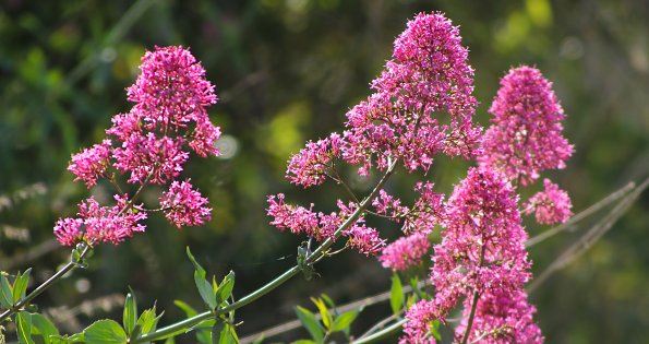 Pinke Wildblumen