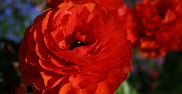 Rote Rosenbluete