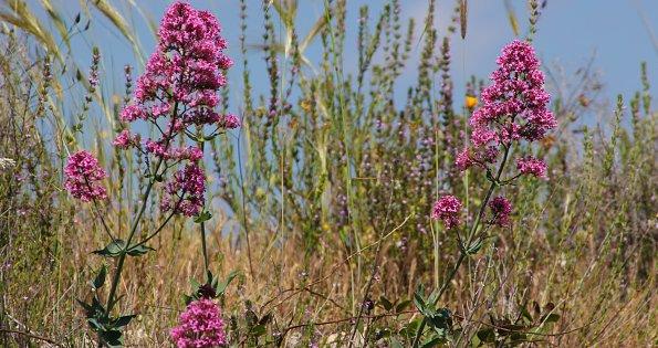 Sizilianische Wildblumen