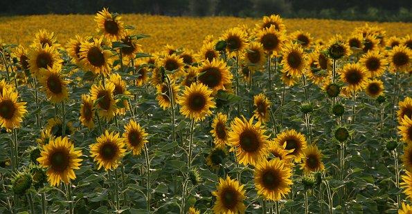 Sonnenblumen Meer
