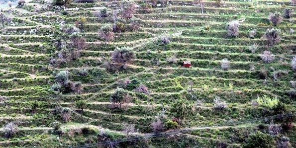 Olivenanbau